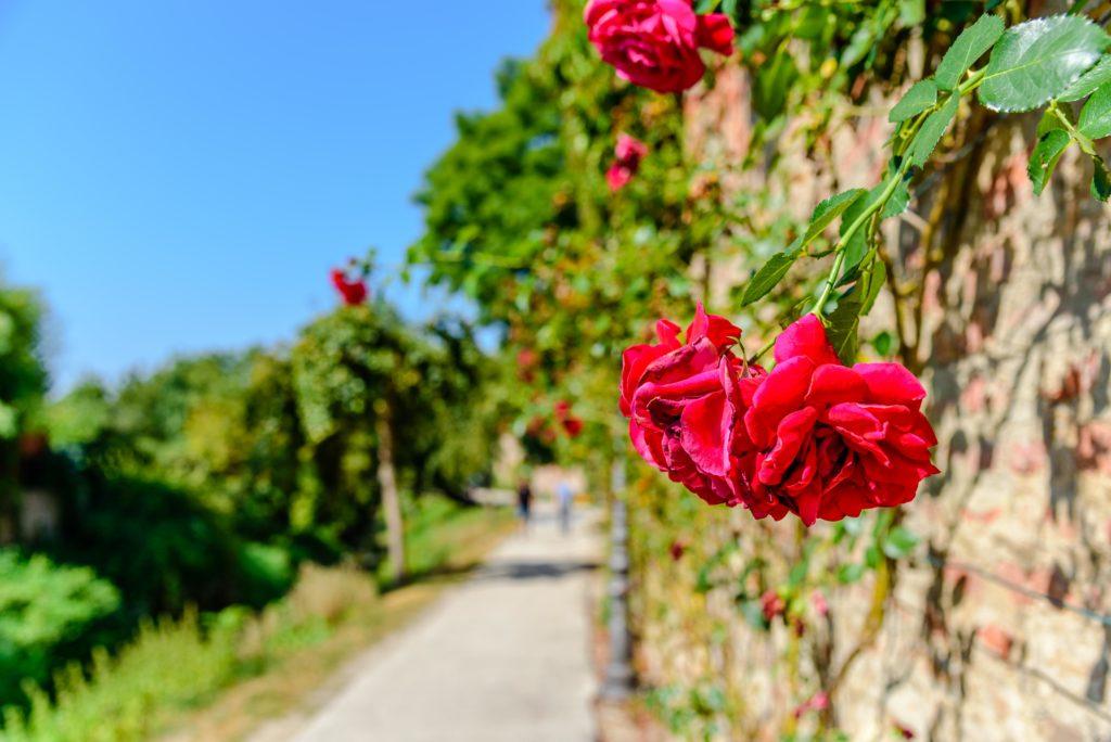 城壁に咲く赤いバラ